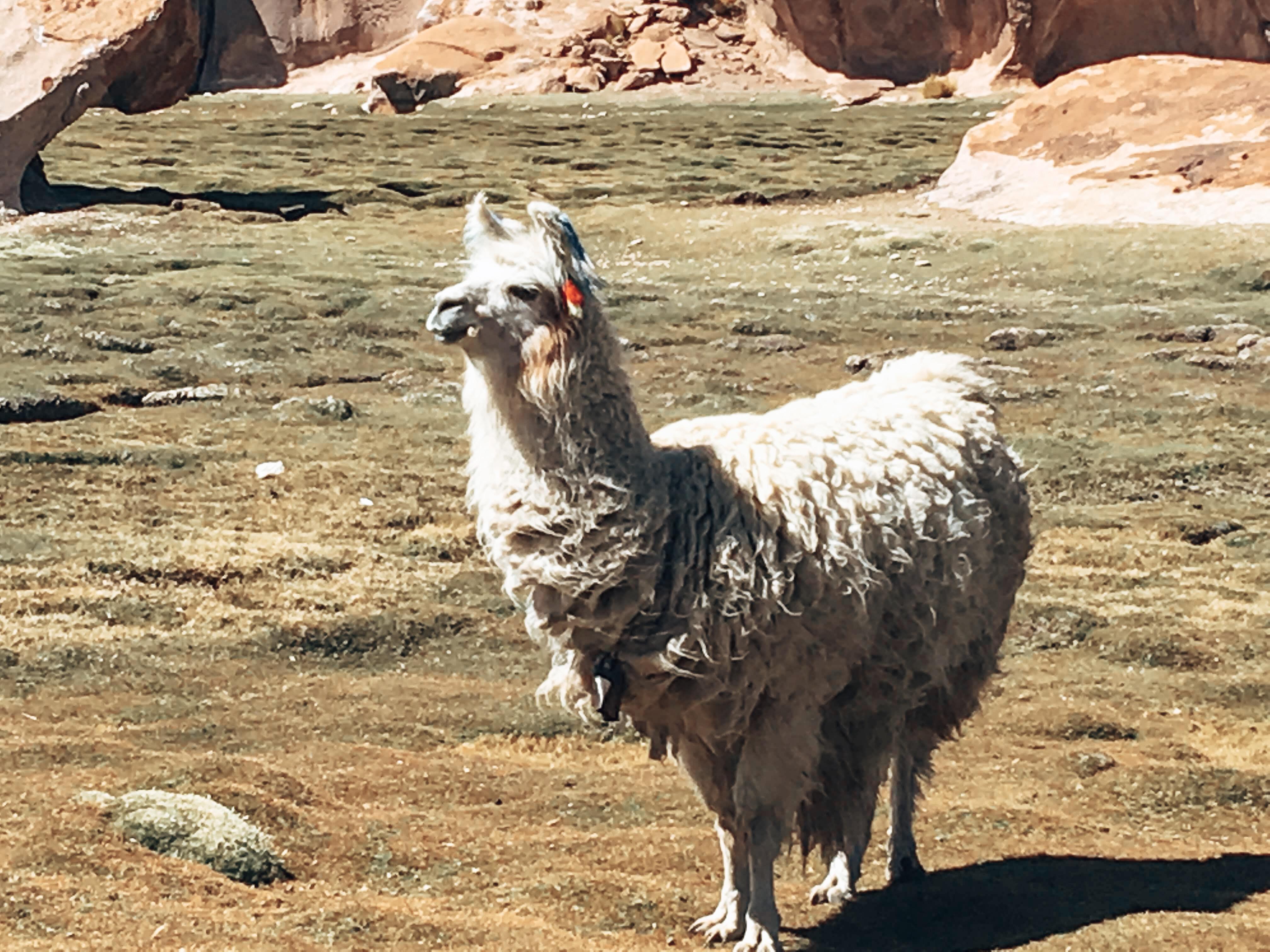 Llama Salt Flats Bolivia